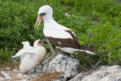 Nazca Booby with Chick