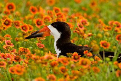 Black Skimmer in Wildflowers