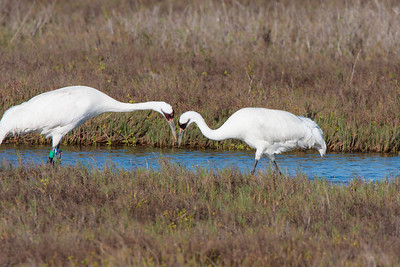Adult Whooping Crane Pair Looking for Crabs