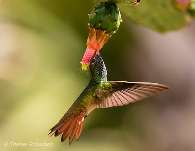 Buff-bellied Hummingbird on Prickly Pear Cactus