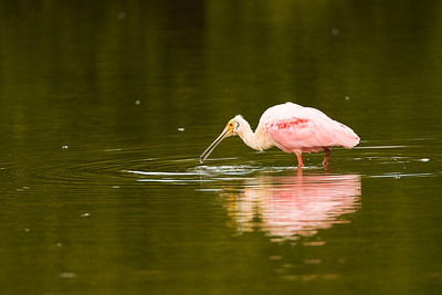 Roseate Spoonbill Catching Shellfish at Ding Darling NWR on Sanibel Island