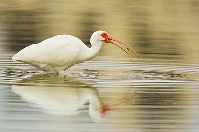 White Ibis with Small Crab at Estero Lagoon in Fort Myers