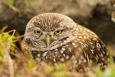 Burrowing Owl at Cape Coral