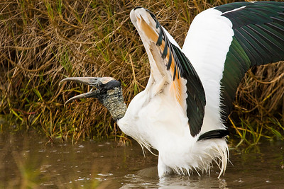 Wood Stork Eating Fish at Estero Lagoon in Fort Myers
