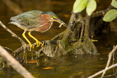 Green Heron with Fish at Ding Darling NWR on Sanibel Island