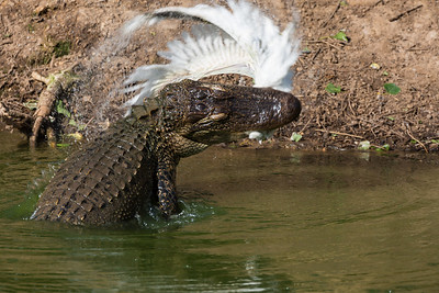 An alligator snatches an egret that wandered too close to the shoreline