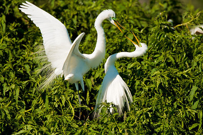 Great Egret Mating Pair