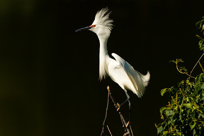 Snowy Egret in Breeding Plumage and Color
