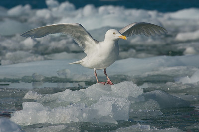 Glaucous Gull on floating ice (bergy bit).