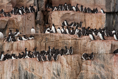 Brunnich Guillemots Nesting on High Cliffs