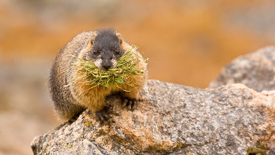 A Yellow-bellied Marmot gathering vegetation to store for the winter.