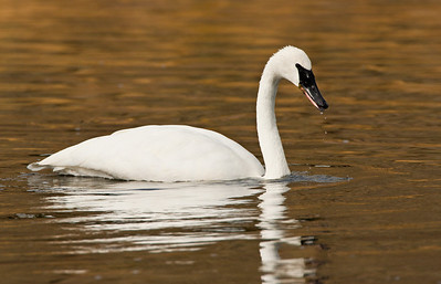 Trumpeter Swan on the Madison River