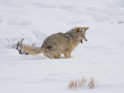 Coyote Hunting Voles Under the Snow