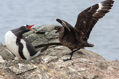 Gentoo Penguin defending egg against Brown Skua, Barrientos Island, Antarctica