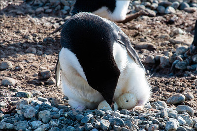 Adelie Penguin Hatching Egg, Brown Bluff, Antarctica