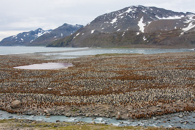 World's largest King Penguin colony, St. Andrews Bay, South Georgia