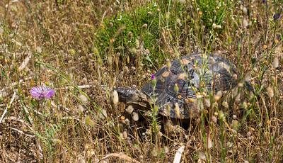 Die Futtersuche für die Schildkröten ist zu dieser Jahreszeit (Mitte Mai) ein Kinderspiel, wogegen im Sommer nur noch verdörrte Magerwiesenkräuter als Nahrungsquelle zur Verfügung stehen.