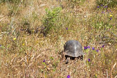Die Breitrandschildkröten auf Sardinien wurden vor vielen hundert Jahren aus Griechenland eingeschleppt.