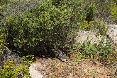 Aufgrund starker, touristischer Nutzung des Lebensraumes der Breitrandschildkröten auf Sardinien ist ihre Existenz auch auf Sardinien stark gefährdet.
