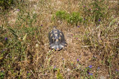 Wir entdeckten Breitrandschildkröten sowohl mit einheitlich schwarz-grauer Panzerfärbung als auch solche mit gelben Fleckenmustern auf den Schildern.