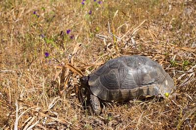 Die Breitrandschildkröte (Testudo marginata) in ihrem natürlichen Vorkommensgebiet im Nordosten Sardiniens.