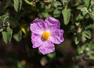 Blüte der Zistrose (Cistus)
