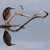 Green Heron Reflections