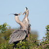 Great Blue Heron Love