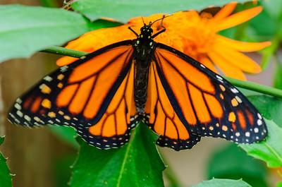 20070519 Krohn Butterflies 034
