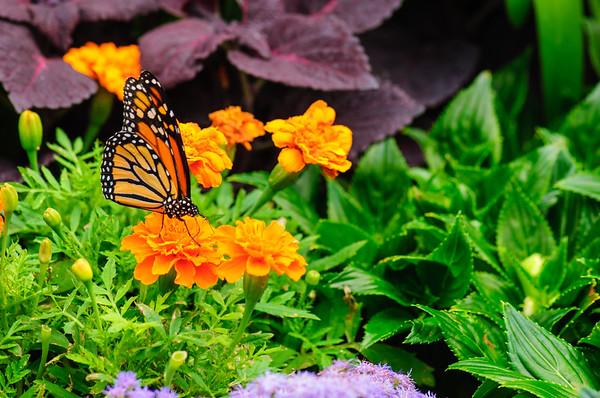20070519 Krohn Butterflies 069
