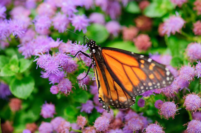 20070519 Krohn Butterflies 011