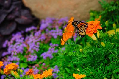 20070519 Krohn Butterflies 018
