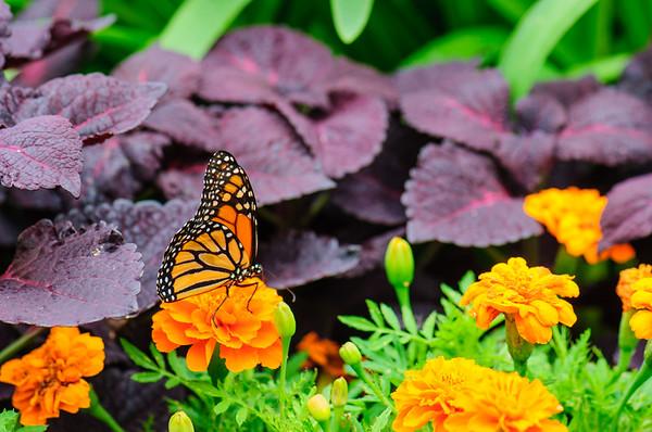 20070519 Krohn Butterflies 023
