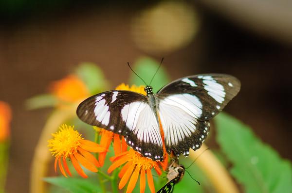 20070519 Krohn Butterflies 013