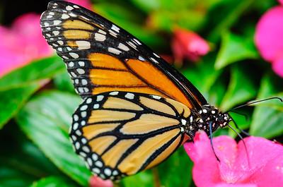 20070519 Krohn Butterflies 058