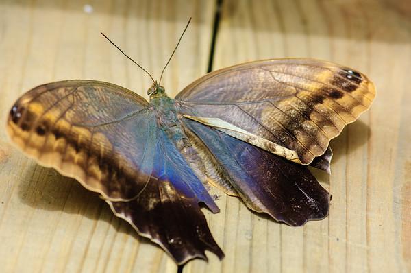 20070519 Krohn Butterflies 044