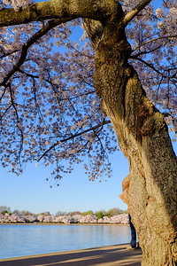 20180408 DC Cherry Blossoms 050