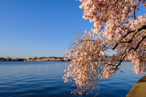20180408 DC Cherry Blossoms 038