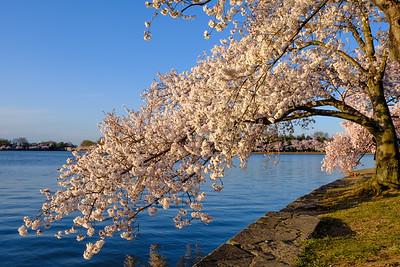 20180408 DC Cherry Blossoms 024