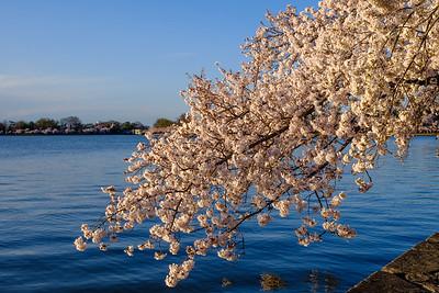 20180408 DC Cherry Blossoms 017