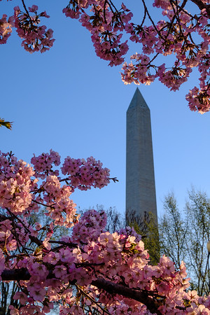 20180408 DC Cherry Blossoms 015