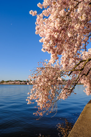 20180408 DC Cherry Blossoms 036