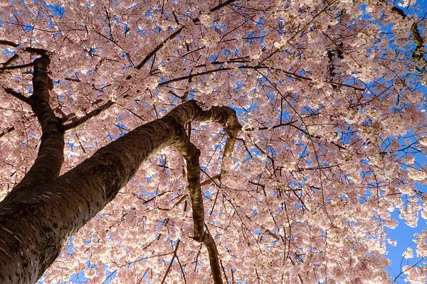 20180408 DC Cherry Blossoms 058