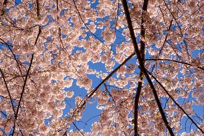 20180408 DC Cherry Blossoms 079