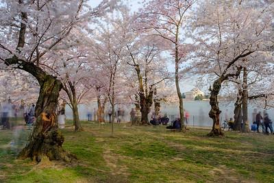 20190329-30 DC Cherry Blossoms 145