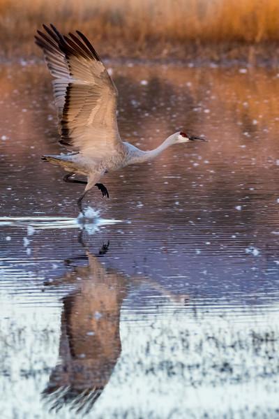 Sandhill Crane Running on Water