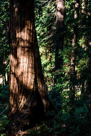 20161118 Muir Woods 008