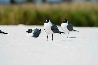 20050416 Destin Beach Birds 038
