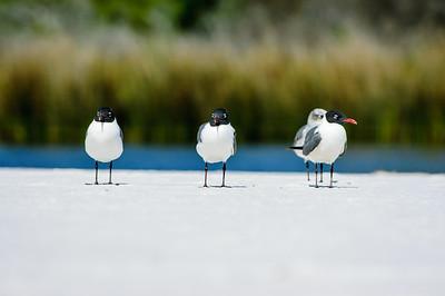 20050416 Destin Beach Birds 013