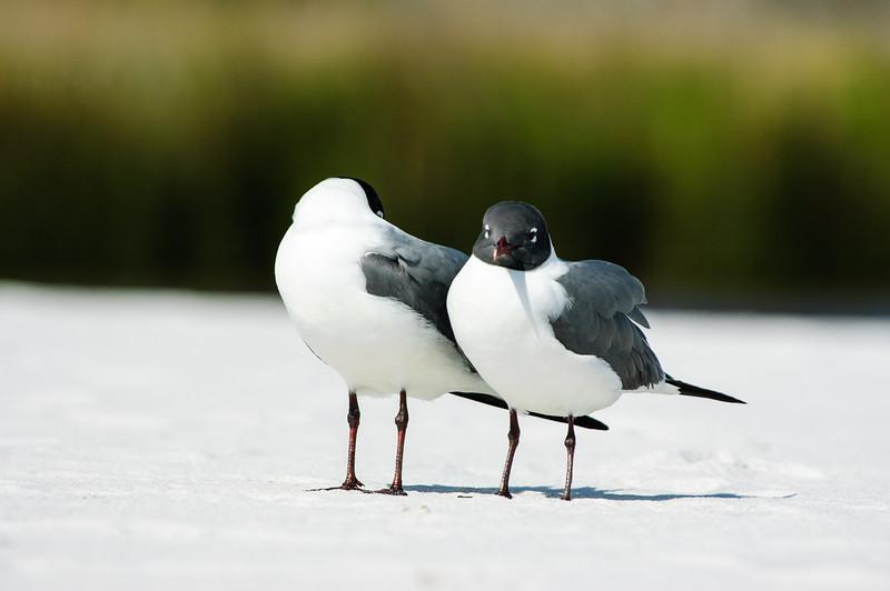 20050416 Destin Beach Birds 056